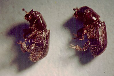 Male and Female Dendroctonus brevicomis, western pine beetle