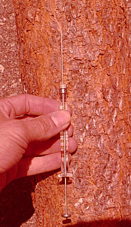 Sampling headspace air from inside male Ips paraconfusus nuptial chamber in ponderosa pine, Pinus ponderosa