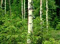 forest of birch (Betula pendula and B. pubescens) and Norway spruce (Picea abies), Torsby, Sweden