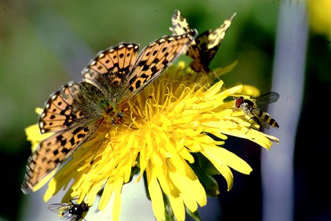 Butterfly and Syrphid fly on dandelion