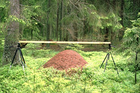 Measuring Dimensions Formica Aquilonia Ant Nest Near Torsby Sweden